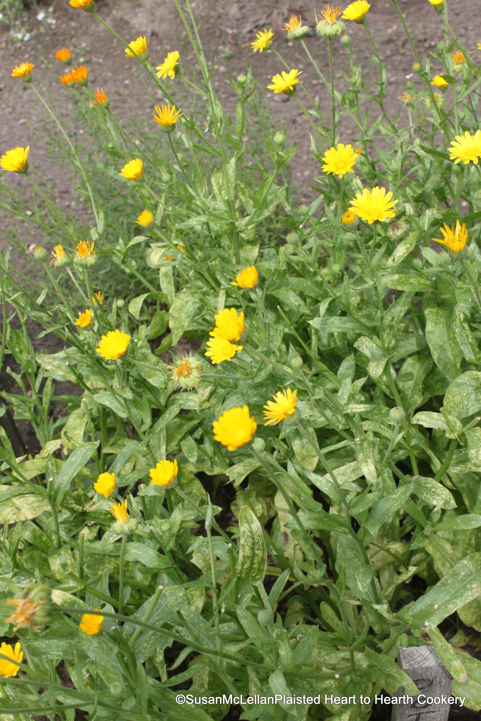 Bites of food history sharing my experimental archaeology of food the flowers of calendula officienalis pot marigold have both a history of culinary and medicinal uses in a niewe herball 1578 dodoens lyte writes it izmirmasajfo