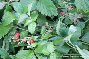 """The heirloom strawberry plants that grow in my yard and I picked a quart for Amelia Simmon's receipt (recipe) """"For preserving Strawberries"""""""