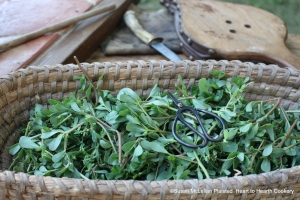 """For the receipt (recipe) """"A Purslain Soup"""" first when your Purslain is young, cut the Sprigs off, but keep their whole Length.  My basket is full of sprigs of purslane."""